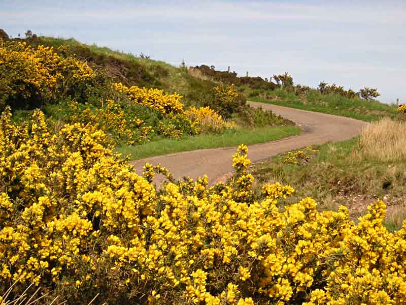 Kintyre yellow gorse © 2004 Scotiana