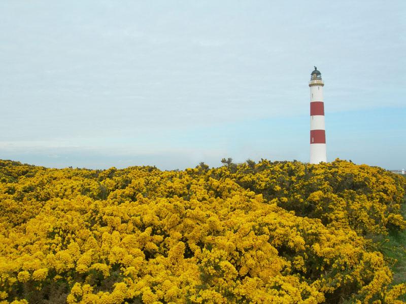 Tarbat Ness Lighthouse yellow gorse © 2006 Scotiana