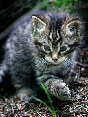The Scottish wildcat Source BBC News Highlands & Islands