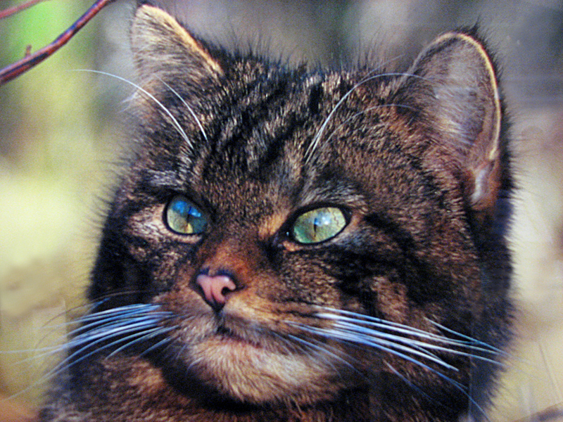 Wild Cat photo in Glencoe Center © 2012 Scotiana