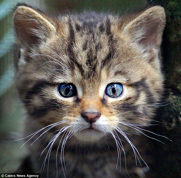 Wildcat kitten © Caters News Agency Source Daily Mail