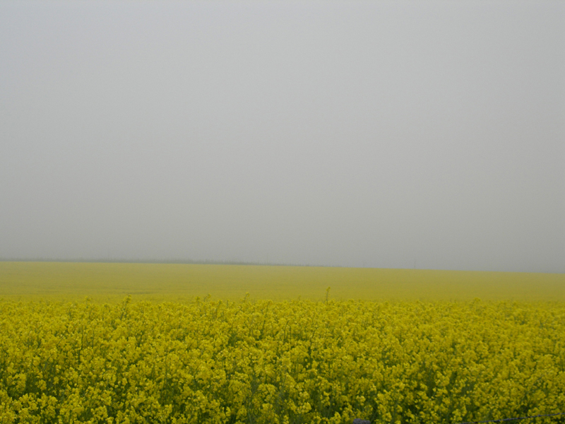 Yellow fields in the mist © 2006 Scotiana