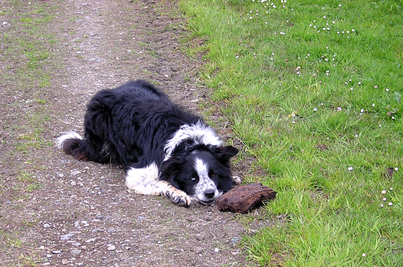 Border Collie playing with a peat brick North Harris © 2004 Scotiana