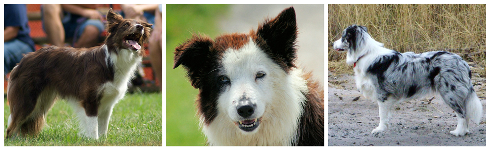 Border Collies 1 Dark red 2 Brown and white 3  Blue merle Wikipedia