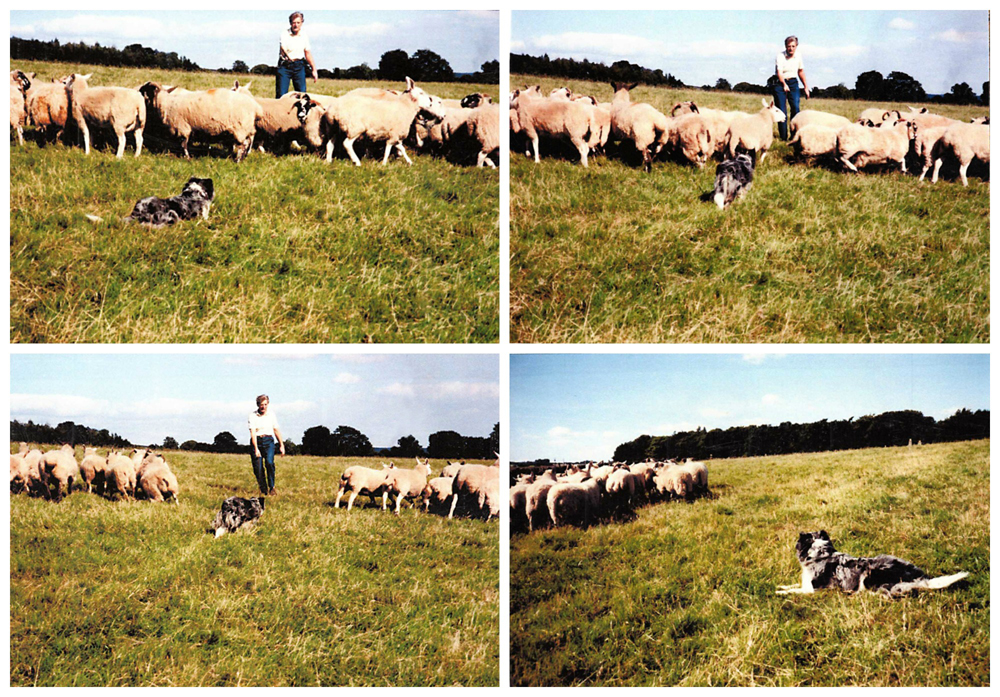 George and his border collie gathering sheep © Scotiana