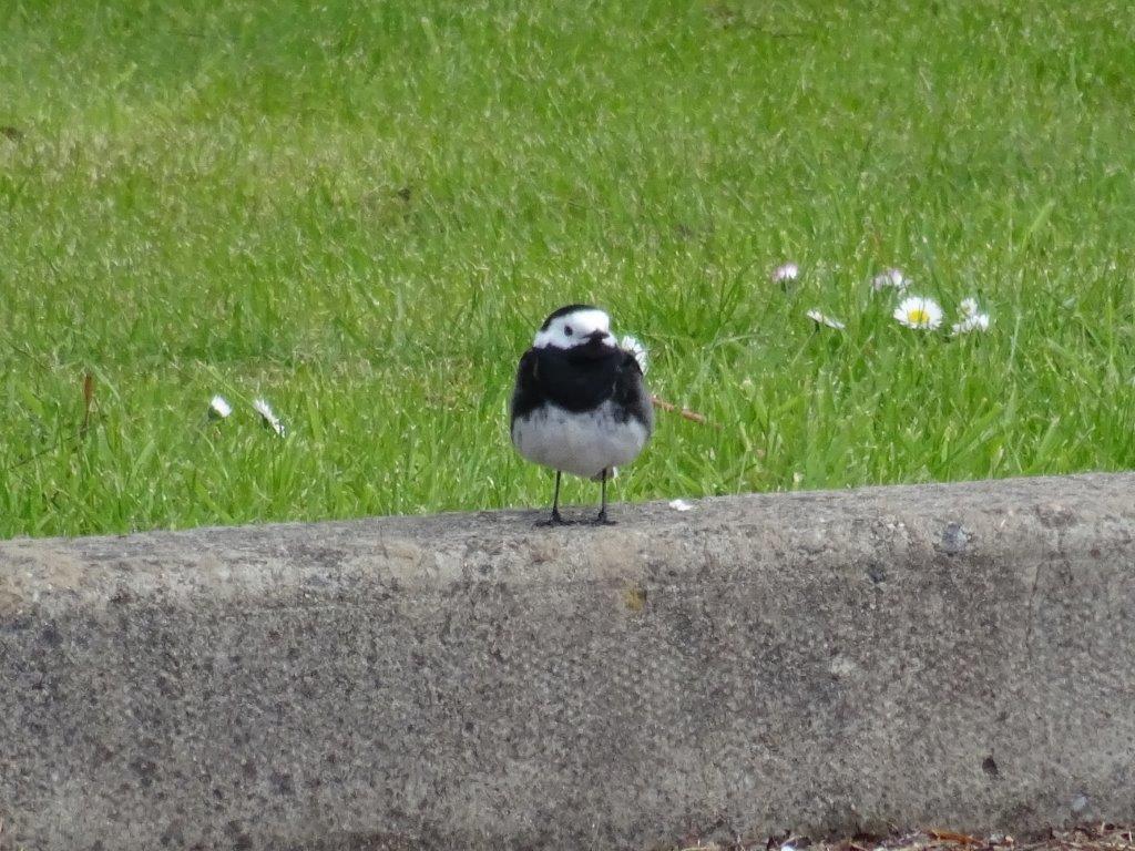 pied wagtail bird in scotland