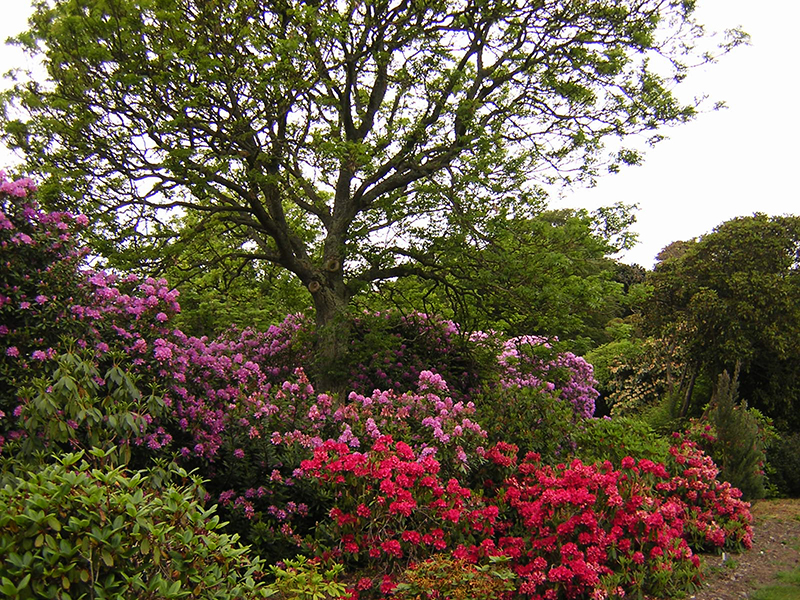Castle Kennedy Gardens a forest of rhododendrons © 2004 Scotiana