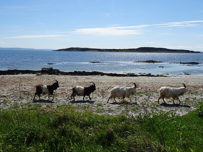 Wild goats on a beach in the island of Jura © 2015 Scotiana