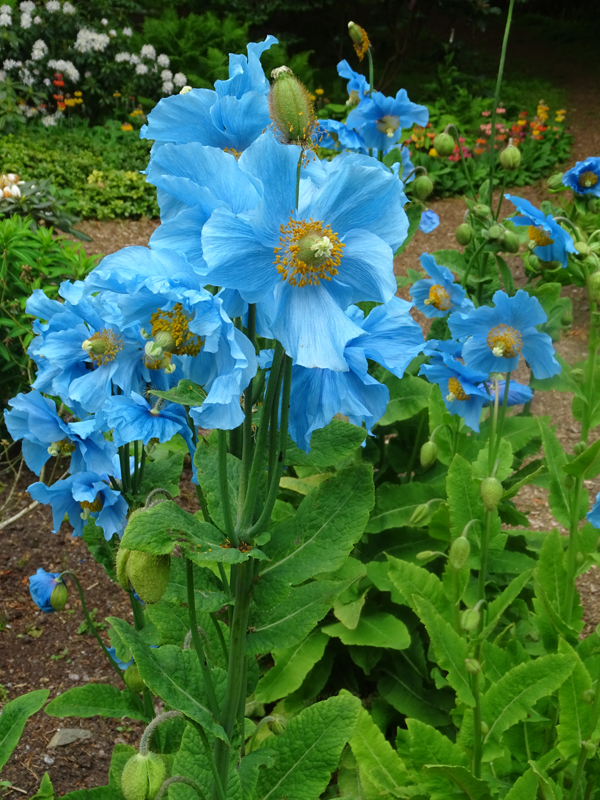 Threave Garden blue poppies