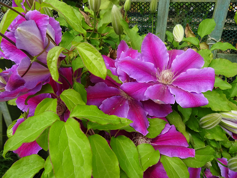 Threave Gardens Clematis 'Doctor Ruppel'