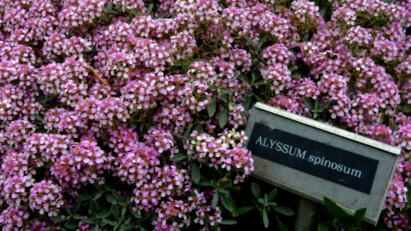 threave-gardens-colorful-flowers-alyssum-spinosum