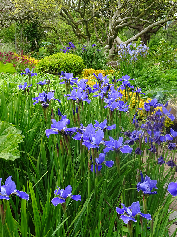 Broughton House Garden blue iris © 2015 Scotiana