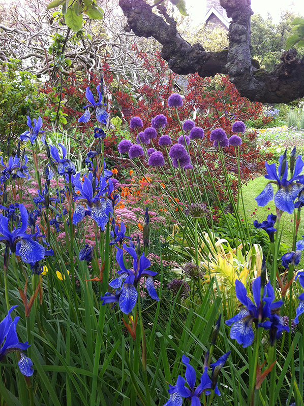 Broughton House blue iris and allium flowers © 2015 Scotiana
