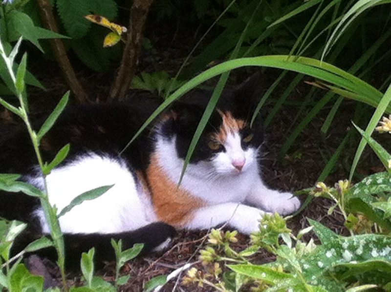 Broughton House calico cat © 2015 Scotiana
