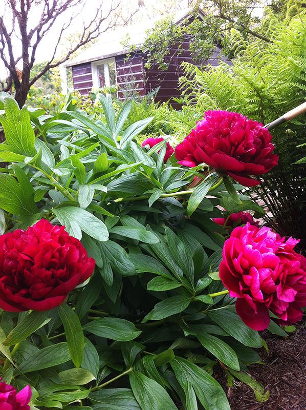 Broughton House peonies © 2015 Scotiana