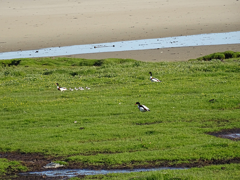 Islay shelducks family on the beach © 2015 Scotiana