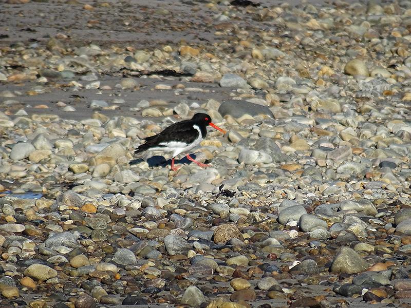 Islay Gruinart Bay oyster catcher on the beach © 2015 Scotiana