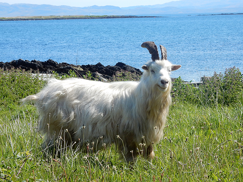 Jura laughing wild goat © 2015 Scotiana