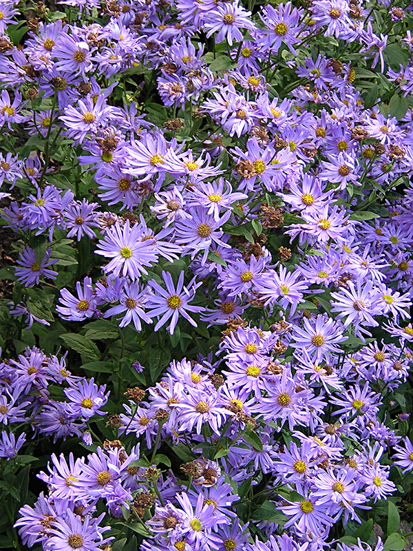 Aster amellus, the European Michaelmas-daisy © 2003 Scotiana