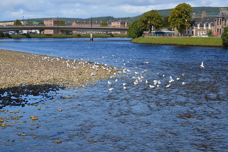 Seagulls on River Ness shore in Inverness © 2012 Scotiana