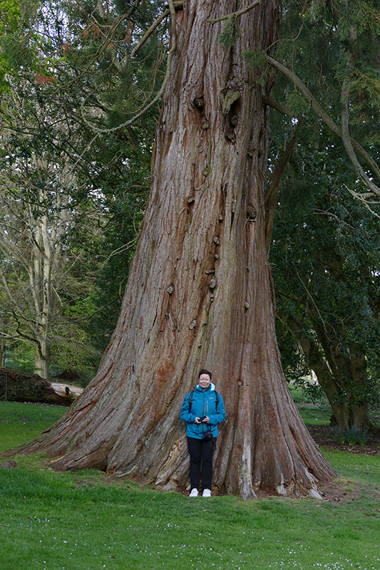 Drum Castle a big Douglas fir tree © 2015 Scotiana