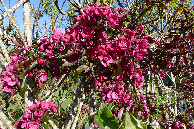 Drum Castle garden Japanese 'quince' © 2015 Scotiana