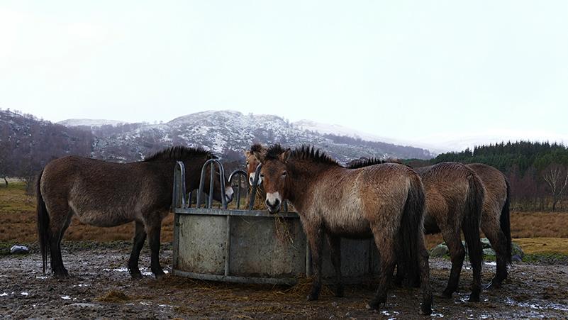 Highland Wildlife Park Przewalski horses © 2020 Scotiana
