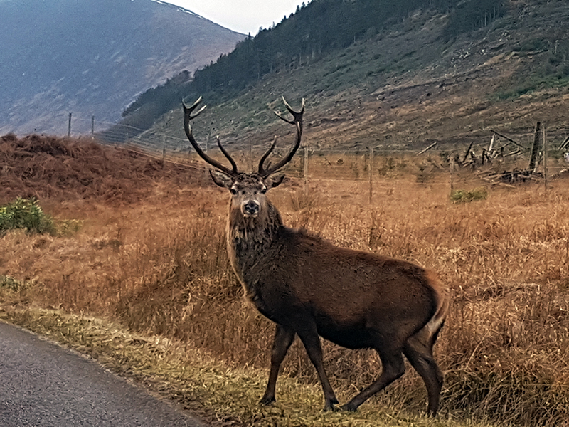 Glen Etive deers on the road - winter in Scotland © 2020 Scotiana